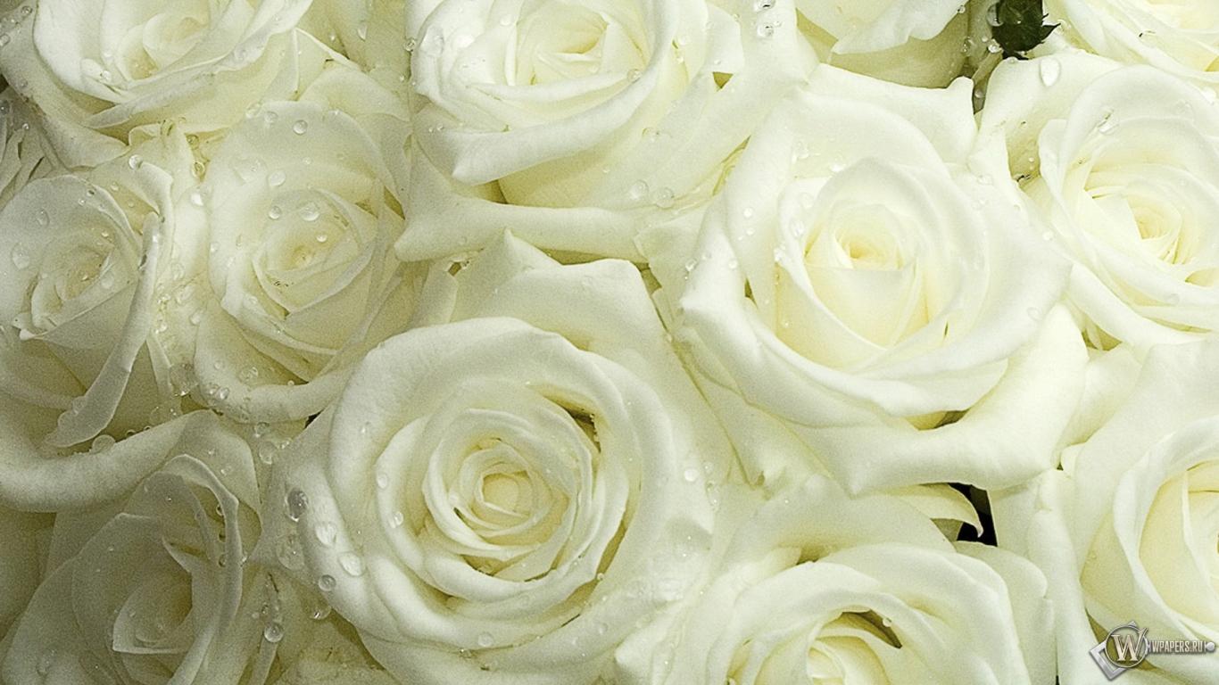 Картинка белые розы на рабочий стол