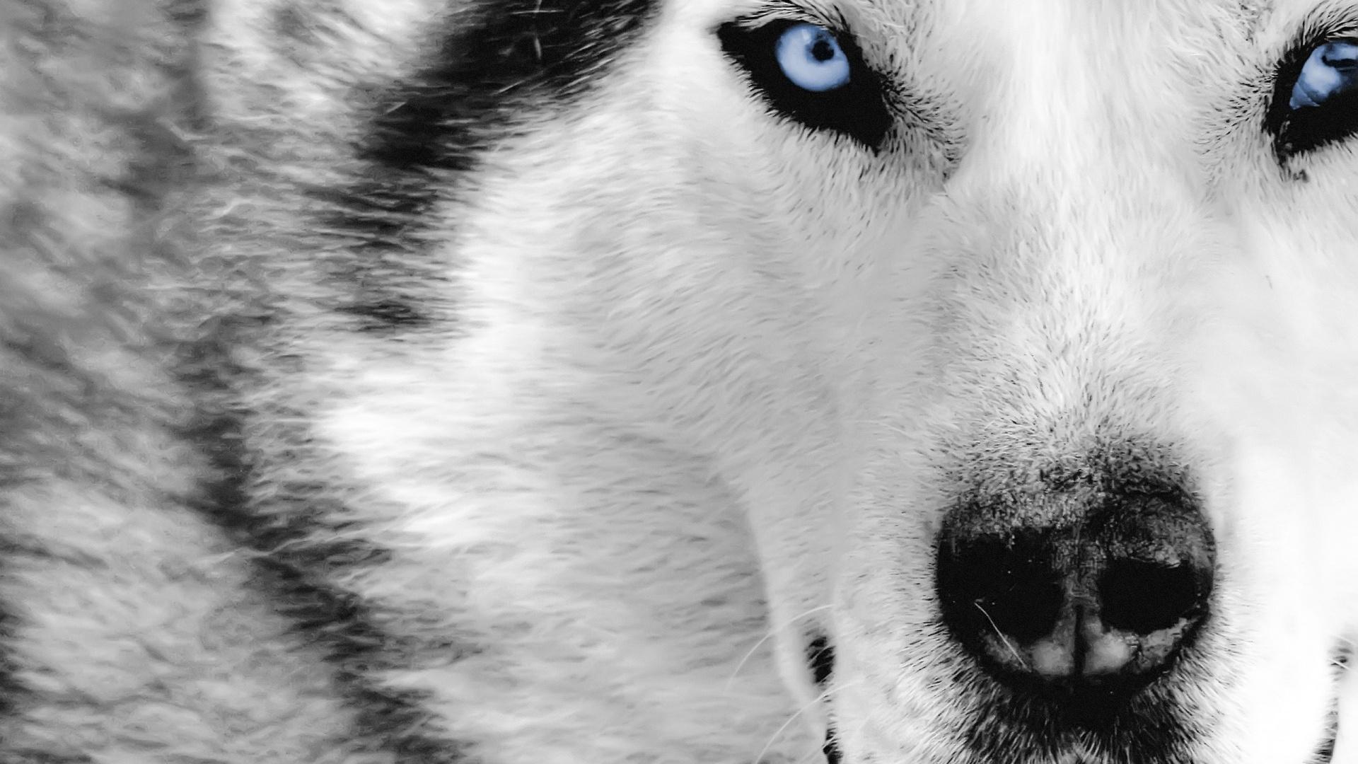 Волчьи глаза без смс