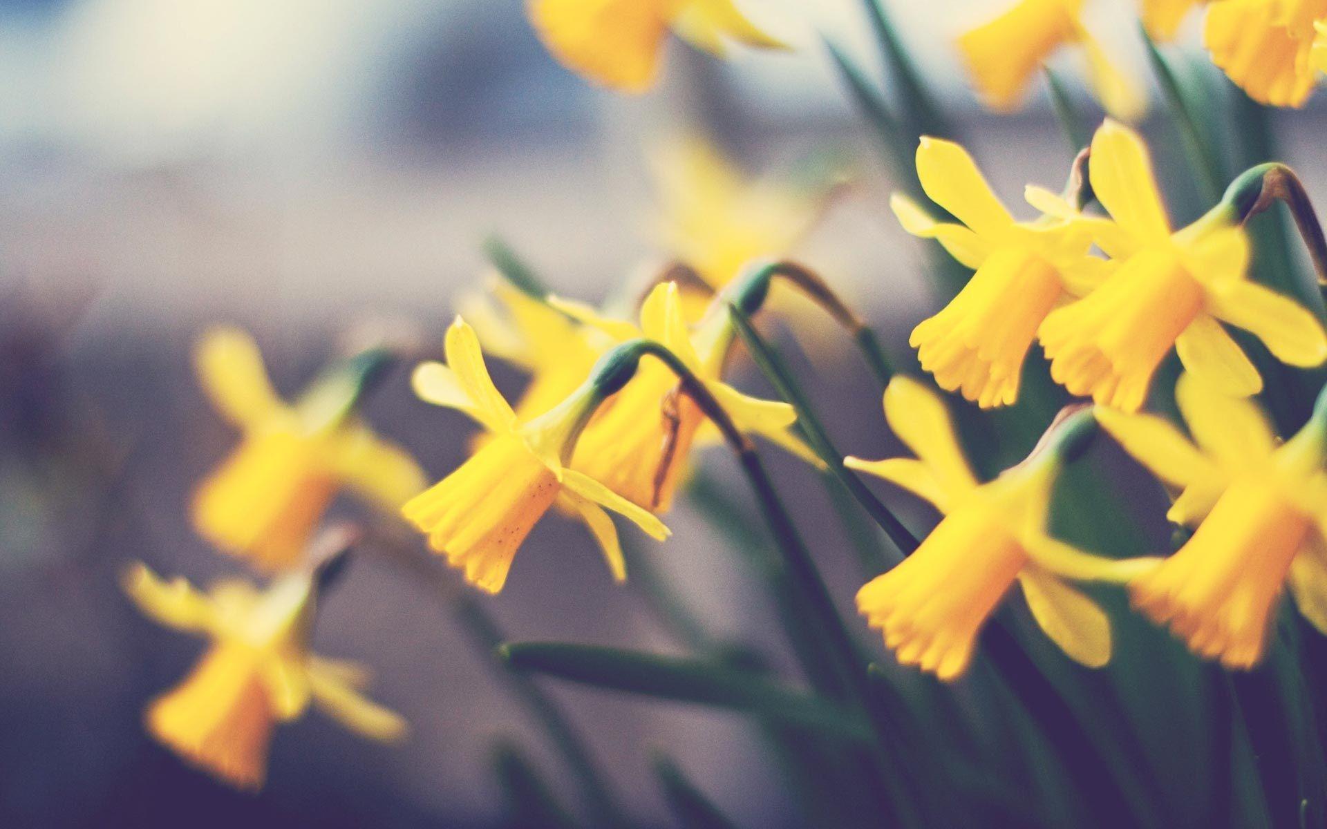 природа цветы желтые нарцисс скачать