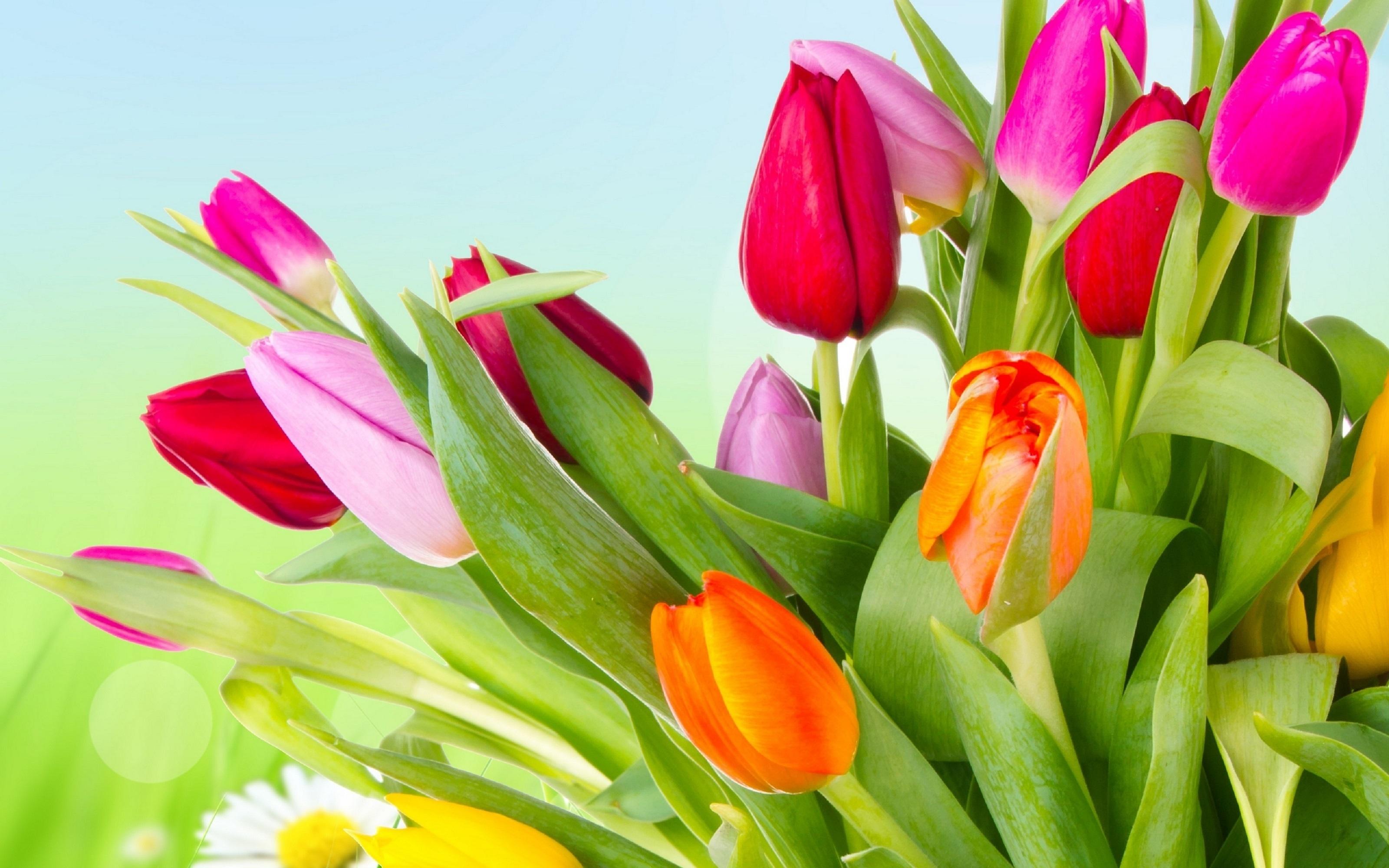 тюльпаны весна цветы загрузить