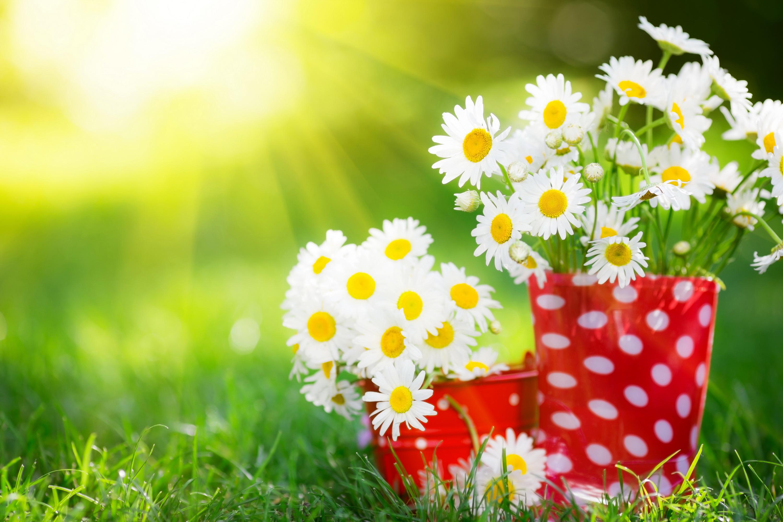Заставка на рабочий стол лето цветы ромашки
