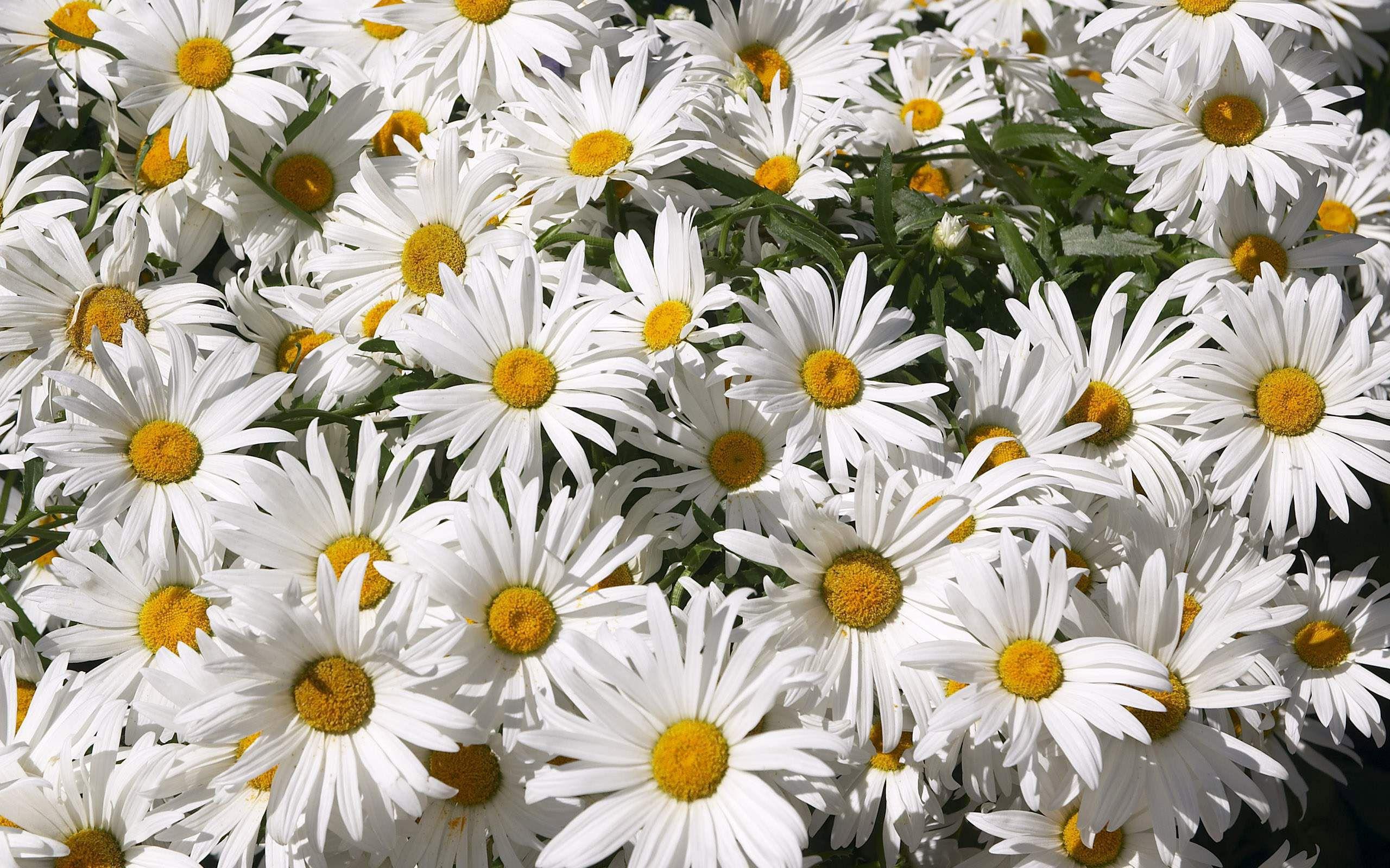 цветы белые ромашки без смс