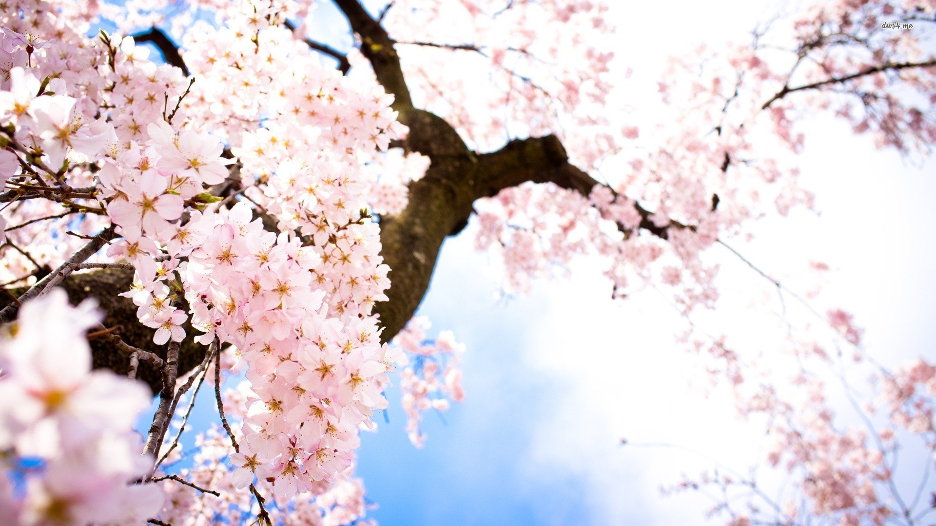 обои для рабочего стола весна япония № 60154 бесплатно