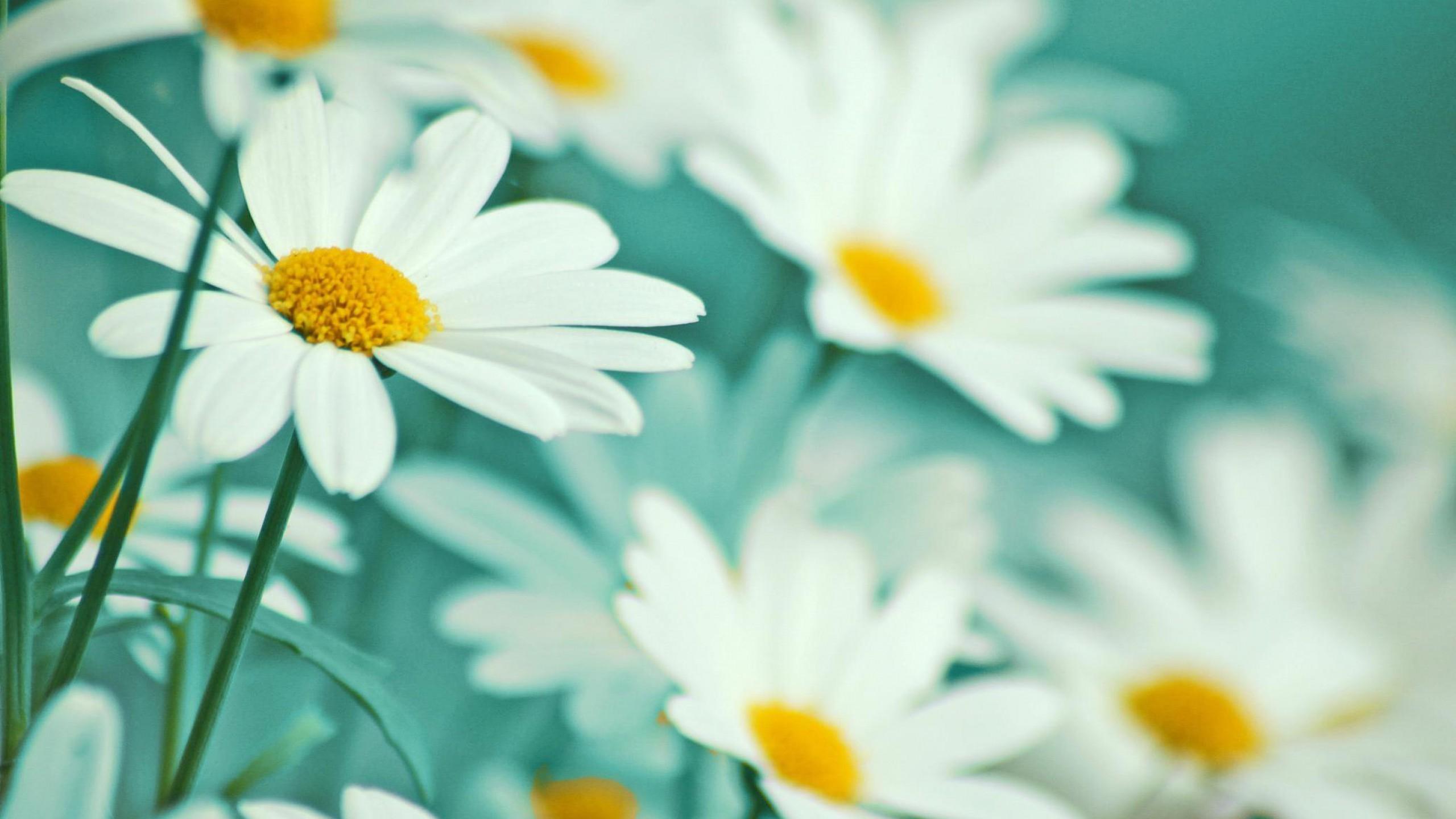 ромашка цветы фокус  № 1096403  скачать