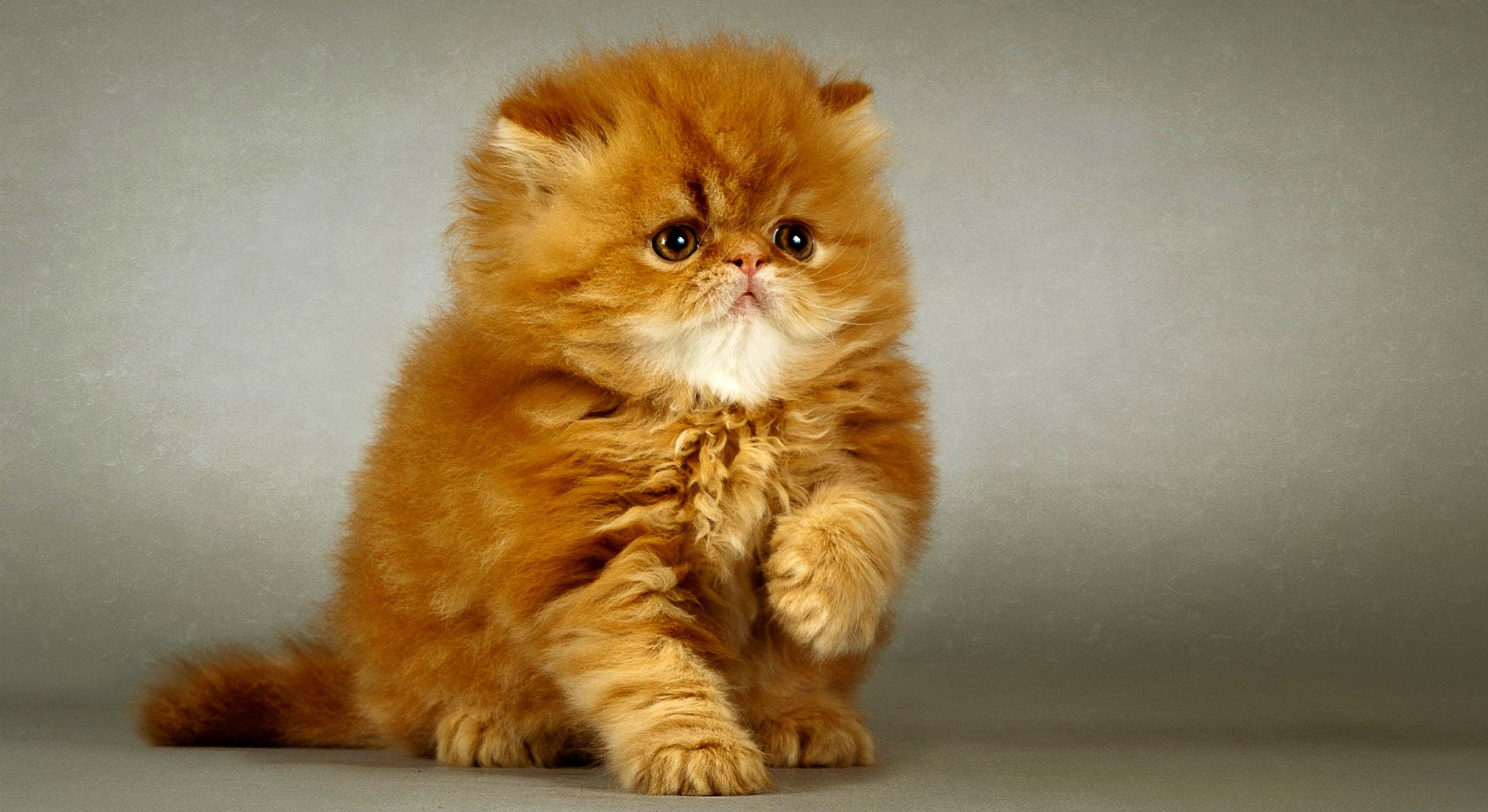 Персидская кошка обои для рабочего стола